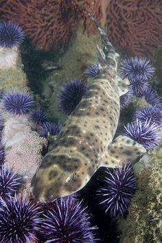 California swell shark     From elasmodiver         via Sabrina Jorday
