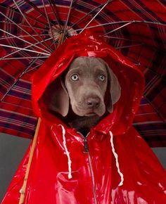 "Rain Ready Weimaraner by William Wegman> ""One must look barking great in the… William Wegman, Funny Animal Pictures, Funny Animals, Cute Animals, Funny Dogs, Cute Dogs, Dog Calendar, Diy Funny, Dog Houses"