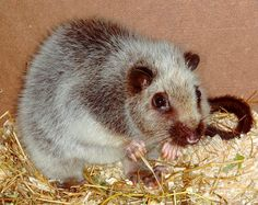 Northern Luzon Giant Cloud Rat. Known in scientific circles as the NLGCR.