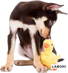 Emma Ente - TÜV geprüftes Hundespielzeug von LABONI Dental Care, Dog Toys, Husky, Dogs, Animals, Animales, Dental Caps, Animaux, Dental Health