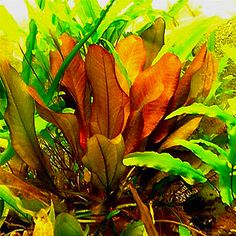 Assortment of 12 German Sword Aquarium Plants