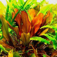 This variety pack of freshwater aquarium plants includes an assortment of German Sword Plants for Freshwater Aquariums. Variety depends on season availability. Freshwater Aquarium Plants, Live Aquarium Plants, Planted Aquarium, Aquarium Fish Tank, Fish Tanks, Aquarium Ideas, Indoor Water Garden, Russian Tortoise, Ice Plant