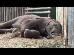 Wild and Woolly, An Elephant and his Sheep (Full documentary)