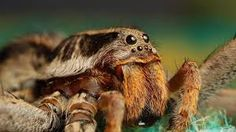 Bilderesultat for tarantula spider