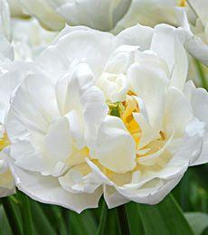 Tulip Mondial