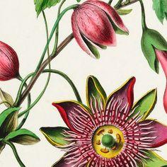 Combo Design is officieel dealer van Naturalis Unlimited ✓Passiebloem doek ✓ Verschillende varianten verkrijgbaar ✓ Gratis verzending (NL)✓ Flowers, Plants, Painting, Design, Painting Art, Paintings, Plant, Royal Icing Flowers