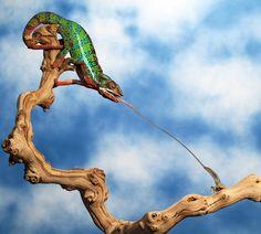 Chameleon Tongue Shot by Scott Cromwell on 500px