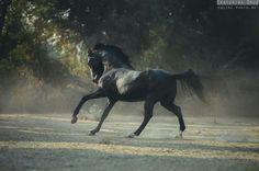 stallion MEGHRAJ (sired by Alishan) Owner: HukamGarh Stud, India ©Ekaterina Druz