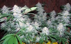 Marijuana Plants   Medical Marijuana Quality Matters- Repined-5280mosli.com -Organic Cannabis College- Top Shelf Marijuana-