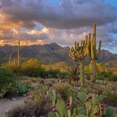 Crested Saguaro in Sabino Canyon Cactus, Southwest Usa, Desert Life, Road Trip Usa, Cacti And Succulents, Tucson, Natural World, Cool Photos, Places To Go