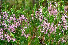 Kanerva: Vaaleanpunaiset kukat kerätään loppukesällä.  Käyttö:  Sopii yrttijuomaksi. Sisältää arbutiinia