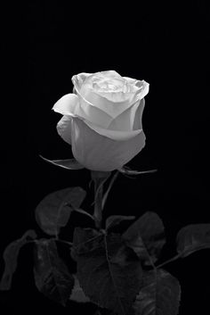 Flowers Photography Black And White Roses 25 Trendy Ideas Black And White Roses, Black And White Photo Wall, Black And White Aesthetic, Black And White Pictures, White Art, Black Flowers, Red Roses, Snow White, Flower Phone Wallpaper