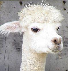 an alpaca, so cute!