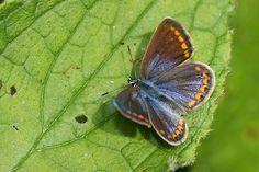 Polyommatus icarus coerulescens - Flickr - Photo Sharing!