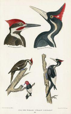 Ivory Billed Woodpecker EXTINCT, Pileated Woodpecker, Red-headed Woodpecker from Blue Jay, Heron, Crane, Wild Turkey, Bald Eagle, Ivory Bill
