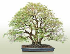 Bonsai : Arakawamomiji(Japanese maple)/height about 35.4inches(90cm)/Width about 47.2inches(120cm)/about 30 years old/Matsuda Seisyo-en