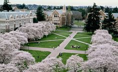 The UW quad with cherry blossoms in full bloom. Falling a bit in love with this place. Still shocked I'm going to be a student.