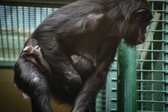 Check out this Sunbury News Report: Susie the Bonobo gives birth