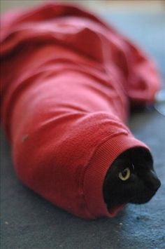 Black cat in a red sleeve.