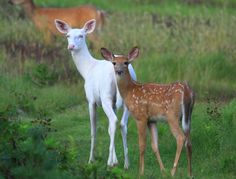 wisconsin whitetail fawn - Google Search
