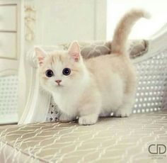 - Munchkin kitten - I have one of these special kittens, Precious is all black and fluffy with tiny legs. Yet she is the quickest and smartest in her feline family. Gato Munchkin, Cute Kittens, Cats And Kittens, Kitty Cats, Derpy Cats, Cats Meowing, Siamese Kittens, Tabby Cats, Bengal Cats