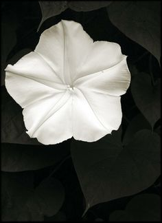 moonflower open