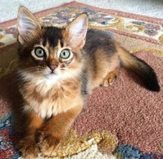 I think this is a Somali cat……how delightful!