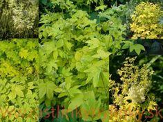 """Túžobník brestový """"AUREA"""" - (Filipendula ulmaria L.) € / rastlinka v kvetináči Herbs, Herb, Medicinal Plants"""
