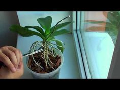 YouTube Edible Flowers, Container Gardening, Garden Plants, Fruit, Youtube, Gardens, Phalaenopsis Orchid, Plants, Orchids