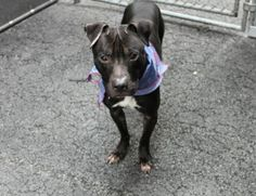 TO BE DESTROYED 04/10/16 A volunteer writes: Nearly as tiny as the four-leaf kind, Clover may be 3 years-old but looks closer to 3 months. He is so petite and lovely in his 29 lb frame. On first meeting him he jumps and jumps in his kennel as if on a spring.