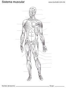 Esquema del sistema muscular humano. Sin los nombres de sus partes, para completar.