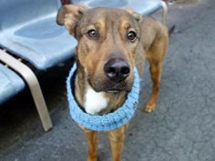 SAFE --- TO BE DESTROYED 3/16/14  Manhattan Center -P   My name is MIKA. My Animal ID # is A0993484.  I am a male brown and white germ shepherd. The shelter thinks I am about 3 YEARS old.   I came in the shelter as a STRAY on 03/08/2014 from NY 10029, owner surrender reason stated was STRAY  https://www.facebook.com/photo.php?fbid=772400792772802&set=a.617938651552351.1073741868.152876678058553&type=3&permPage=1