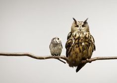 {Scops and Eagle Owls} by Darrin Jenkins