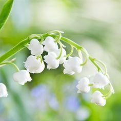 Lily-of-the-Valley-Flower-Macro-iPad-4-wallpaper-ilikewallpaper_com_1024.jpg (1024×1024)