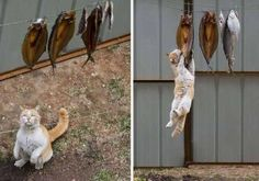 Cat. Fish.