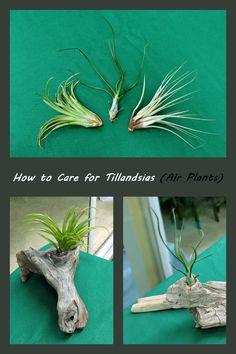 how to care for tillandsias air plants-http://jessegarden.wordpress.com/2012/08/18/air-plants-care/