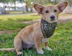Serenity the Corgi Mix -- Dog Breed: Pembroke Welsh Corgi / Terrier