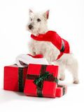 Christmas Westie - Download From Over 51 Million High Quality Stock Photos, Images, Vectors. Sign up for FREE today. Image: 21318708
