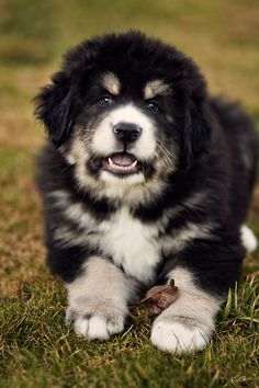 Tibetan Mastiff Puppy! I just love him!