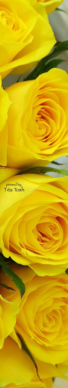 Suzanne J Brosseau: Yellow Roses | Téa Tosh