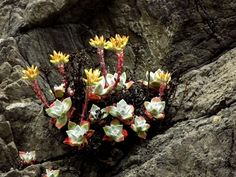 succulents blooming on sea stack