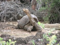 Brazilian Giant Tortoise Bing Images Turtles Pinterest - Jonathan tortoise mind blowing 182 years old