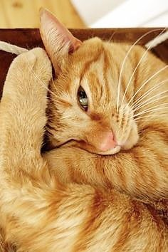Orange Tabby Cats, Red Cat, Pretty Cats, Beautiful Cats, Cute Kittens, Cats And Kittens, Chat Beige, Cat Pose, Photo Chat