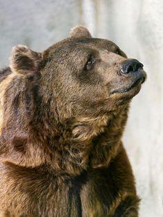 Big Brown Bear (Found on www.flickr.com via Tumblr)