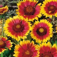 Großblumige Kokardenblume 'Kobold', 15 cm, 3er Set
