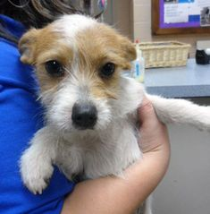 Rough haired Jack Russell puppy.