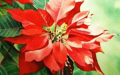 Holiday Sale & Red Poinsettia, painting by artist Jacqueline Gnott