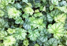 heuchera mint frost