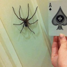 Mostly they just want to hang out. | 18 Reasons The Huntsman Spider Is Your New Best Friend