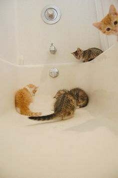 There is something about a bathtub that appeals to cats and kittens like a moth to a flame...